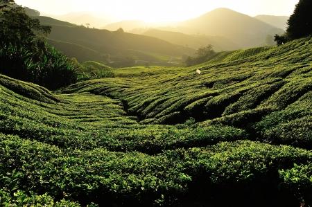 Tea Plantation on the Hill