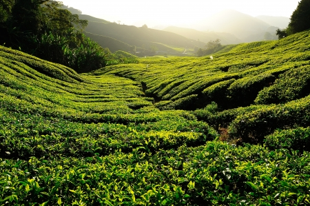 Tea Plantation at Sunrise photo