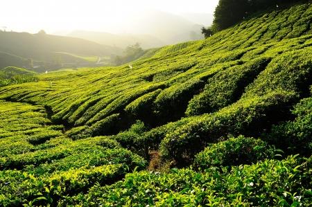 Tea Plantation at Sunrise photo