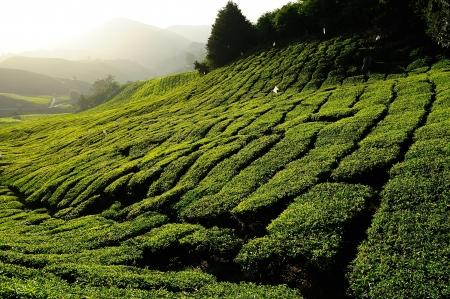 Tea Plantation on the Hill photo