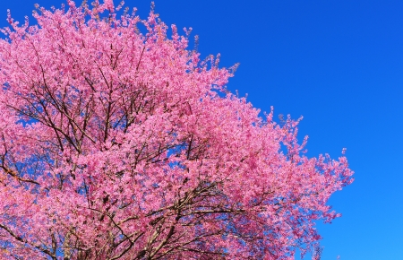 Cherry Blossom Full Bloom