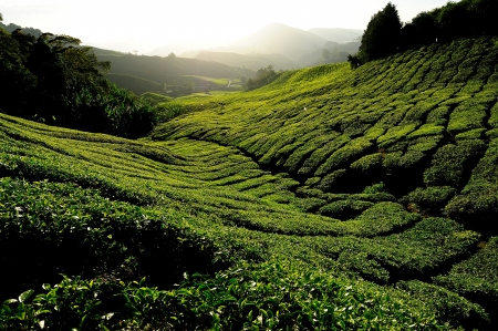 Tea Plantation on the Hill photo