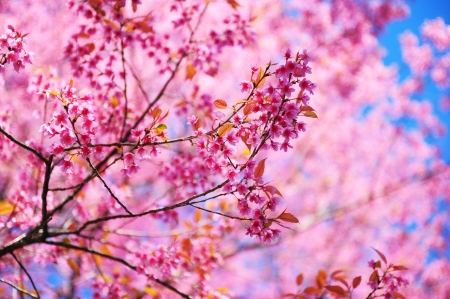 Pink Cherry Blossom - Full Bloom  Stock Photo