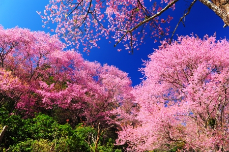 Pink Cherry Blossom - Full Bloom  photo