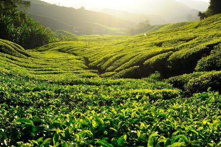 Green Tea Plantation on the Hill at Cameron Highlands, Malaysia photo