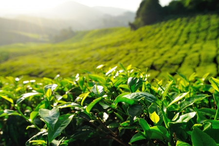 Green Tea Plantation on the Hill at Cameron Highlands, Malaysia
