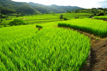 Paddy Rice Field Plantation  Stock Photo