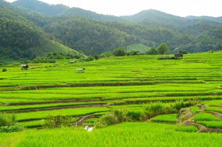 rice plant: Paddy Rice Field Plantation  Stock Photo