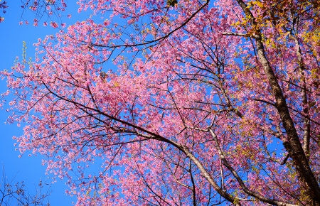 Cherry Blossom Full Bloom photo