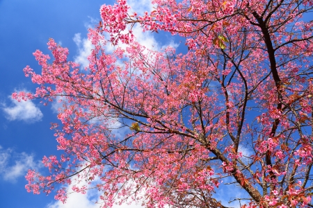 Full Bloom Cherry Blossom with Blue Sky