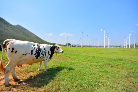 Cows on Green Fields and Wind Turbines  photo