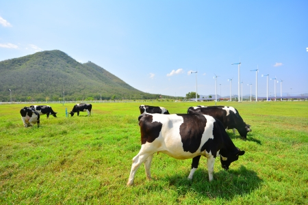 Cows on Green Fields and Wind Turbines  Stock Photo