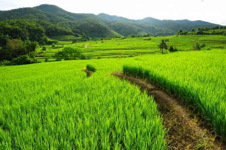 Paddy Rice Field Plantation on the Mountain