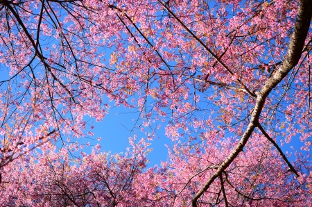 Full Bloom Cherry Blossom in Chiang Mai, Northern Thailand  Stock Photo