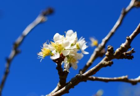 White Cherry Blossom Full Bloom Stock Photo