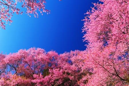 flor de cerezo: Magn?fica flor de color rosa cereza con el cielo azul Foto de archivo