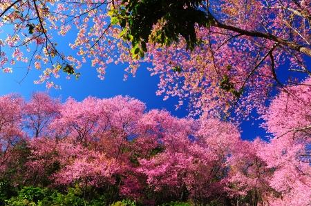 Superb Pink Cherry Blossom with Blue Sky photo