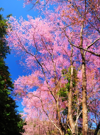 Full Bloom Cherry Blossom with Blue Sky photo