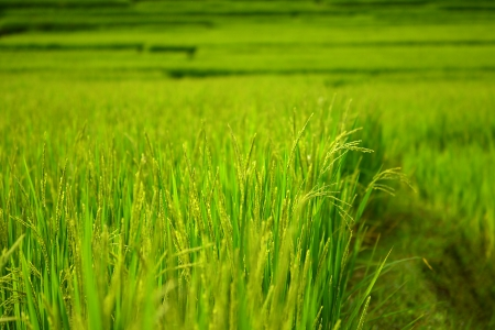 Close-Up Ripe Rice Crop Fields photo
