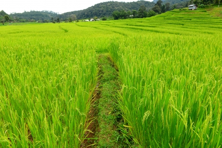Ripe Rice Crop Fields photo