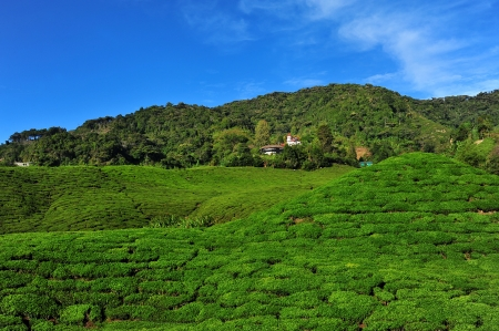 cameron highlands: Green Tea Plantation on the Hill at Cameron Highlands, Malaysia