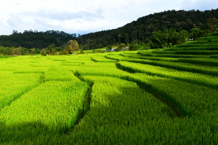 Paddy Rice Fields in Green Season photo