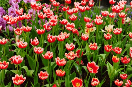 rembrandt: Colorful Rembrandt Tulips in the Garden Stock Photo