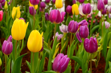 rembrandt: Group of Colorful Rembrandt Tulips in the Garden Stock Photo