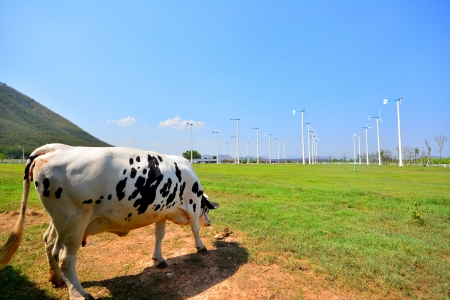guernsey: Cows on Green Fields and Wind Turbines in Background