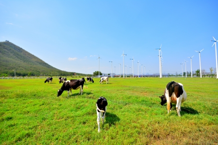 Cows on Green Fields and Wind Turbines in Background photo