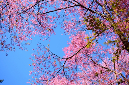 Pink Sakura Cherry Blossom Flowers in Spring Season