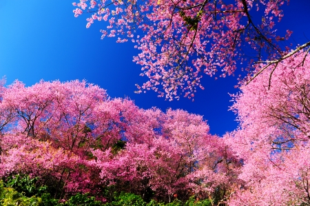 Full Bloom Pink Sakura Flowers with Blue Sky