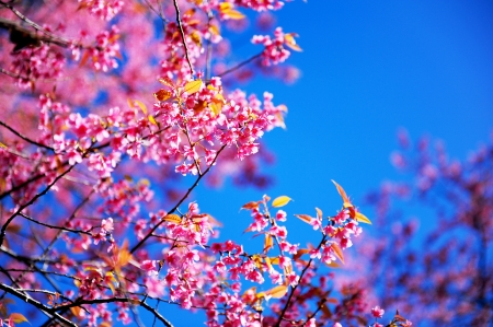 Full Bloom Pink Sakura Flowers with Blue Sky photo