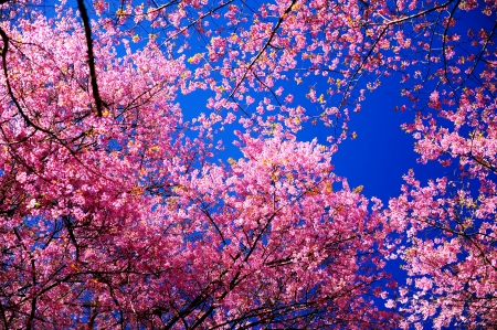 Full Bloom Pink Sakura Flowers with Blue Sky Stock Photo - 24434949