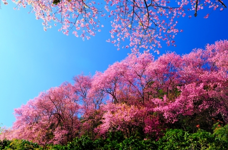 Full Bloom Pink Sakura Flores con cielo azul photo