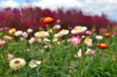 Colorful Straw Flower Meadows