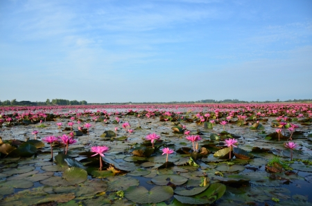 Lotus Flowers in the Lake