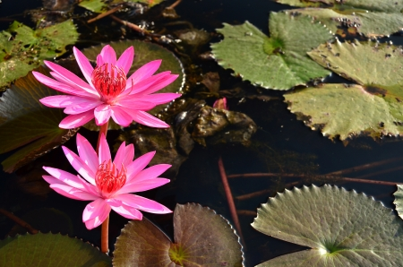 Group of Lotus Flower in the Pond