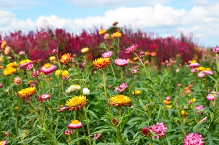 everlasting: Colorful Everlasting Flower Meadows Stock Photo