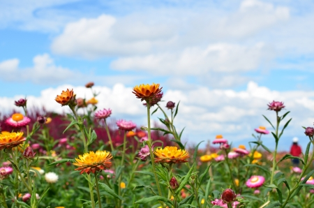 Colorful Everlasting Flower Meadows Stock Photo