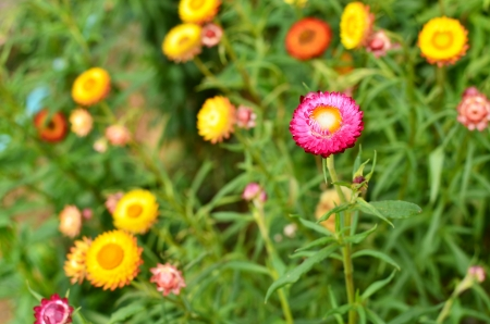 everlasting: Colorful Everlasting Flower Meadows Stock Photo