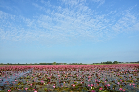 Lotus Flowers Lake Stock Photo