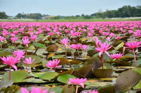 Large Group of Lotus Flowers Stock Photo