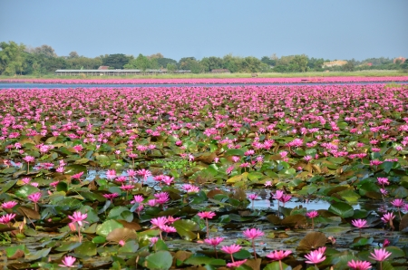 Lotus Flowers in the Lake photo