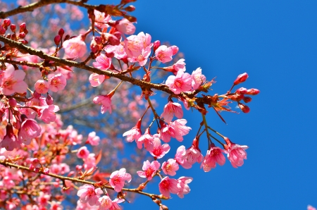 Japanese Cherry Blossom photo