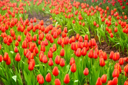 Red Tulip Flowers photo