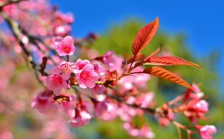 Close-Up Full Bloom Cherry Blossom photo