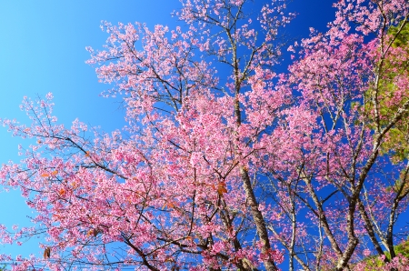 Superb Pink Cherry Blossom with Blue Sky Background Stock Photo - 25062419