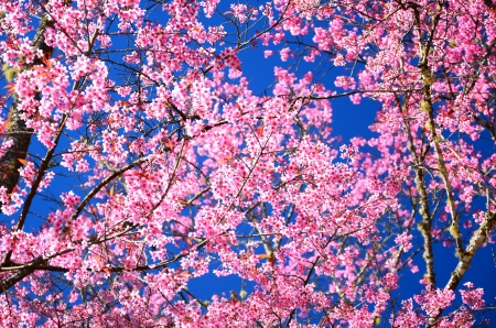 Superb Pink Cherry Blossom with Blue Sky Background Stock Photo - 25062462
