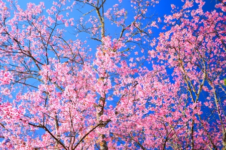 Superb Pink Cherry Blossom with Blue Sky Background photo